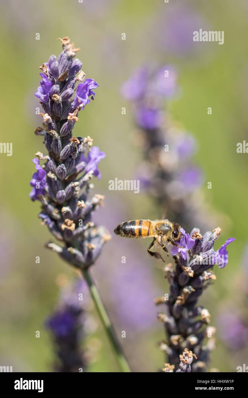 Honey Bee ( Hymenopterans ] on Lavender ( Lavandula angustifolia ) - Stock Image
