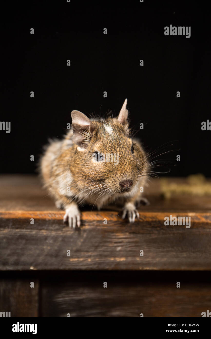 Groovy Male Degu Sat On A Wooden Stool Photographed In A Studio Forskolin Free Trial Chair Design Images Forskolin Free Trialorg