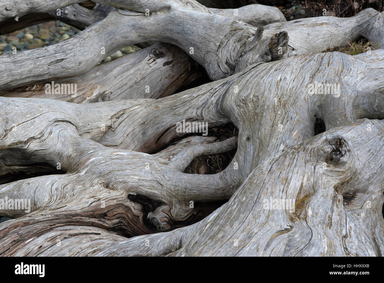 Large tree root system washed ashore on the beach of Vancouver Island at Parksville BC Canada. SCO 11,695. - Stock Image