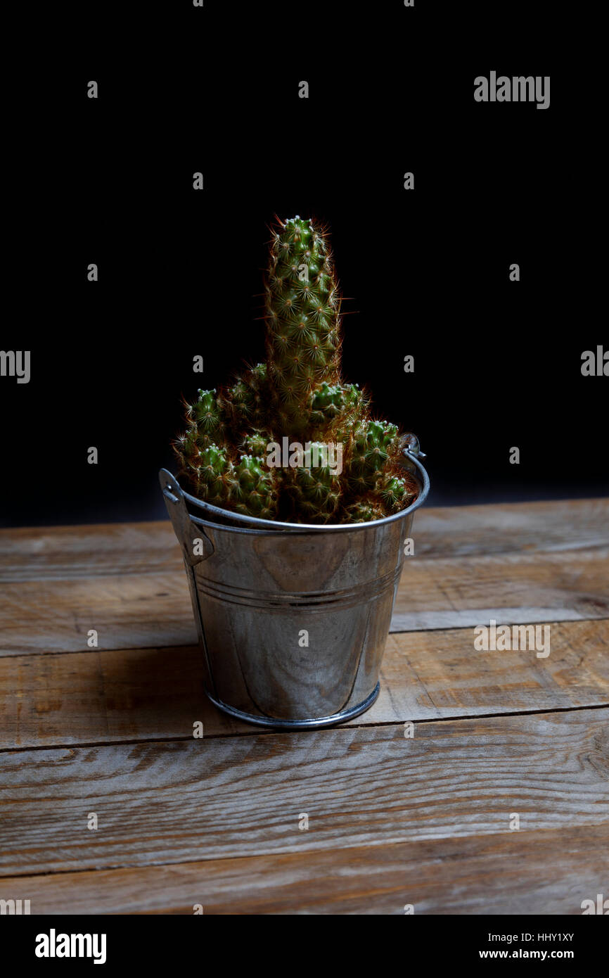 Spiny cactus in a galvanized steel flowerpot on an old wooden table - Stock Image