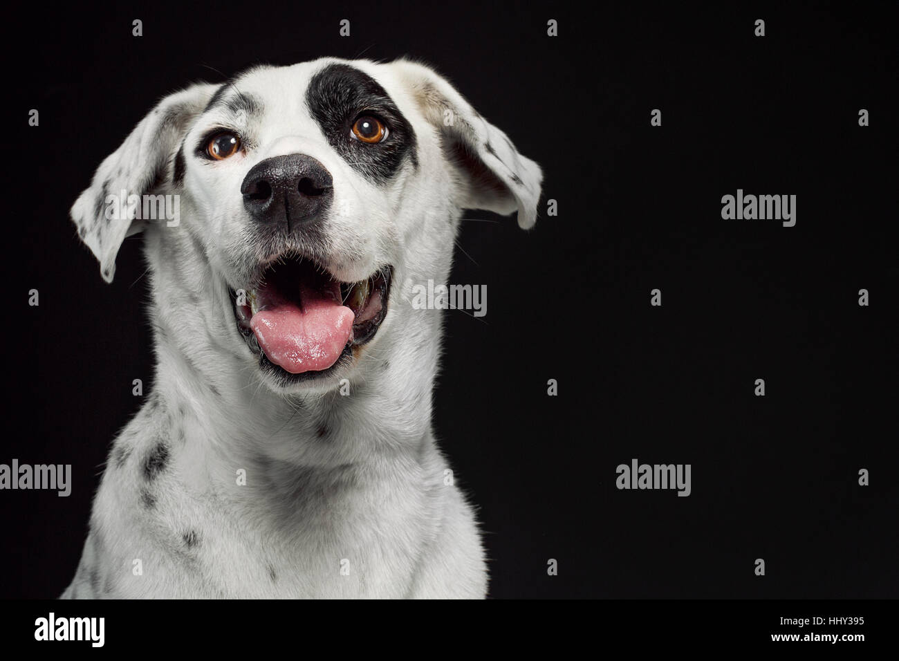 Portrait of a white smiling dog (dalmatian mix) on a black seamless background. - Stock Image