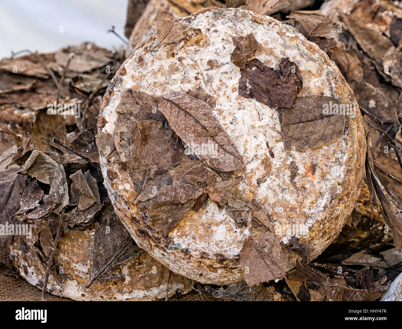 Rustic artisan cheese, matured in nut leaves. Italy. Note narrow depth of field in photo. - Stock Image