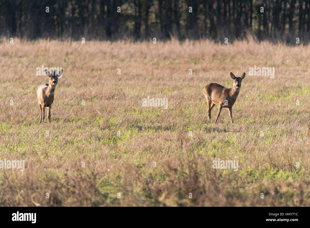Roe deer (Capreolus capreolus) male and female, in family Cervidae, buck with growing antlers still covered in velvet - Stock Image