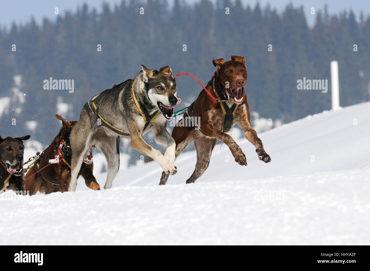 Sledge dogs in speed racing - Stock Image
