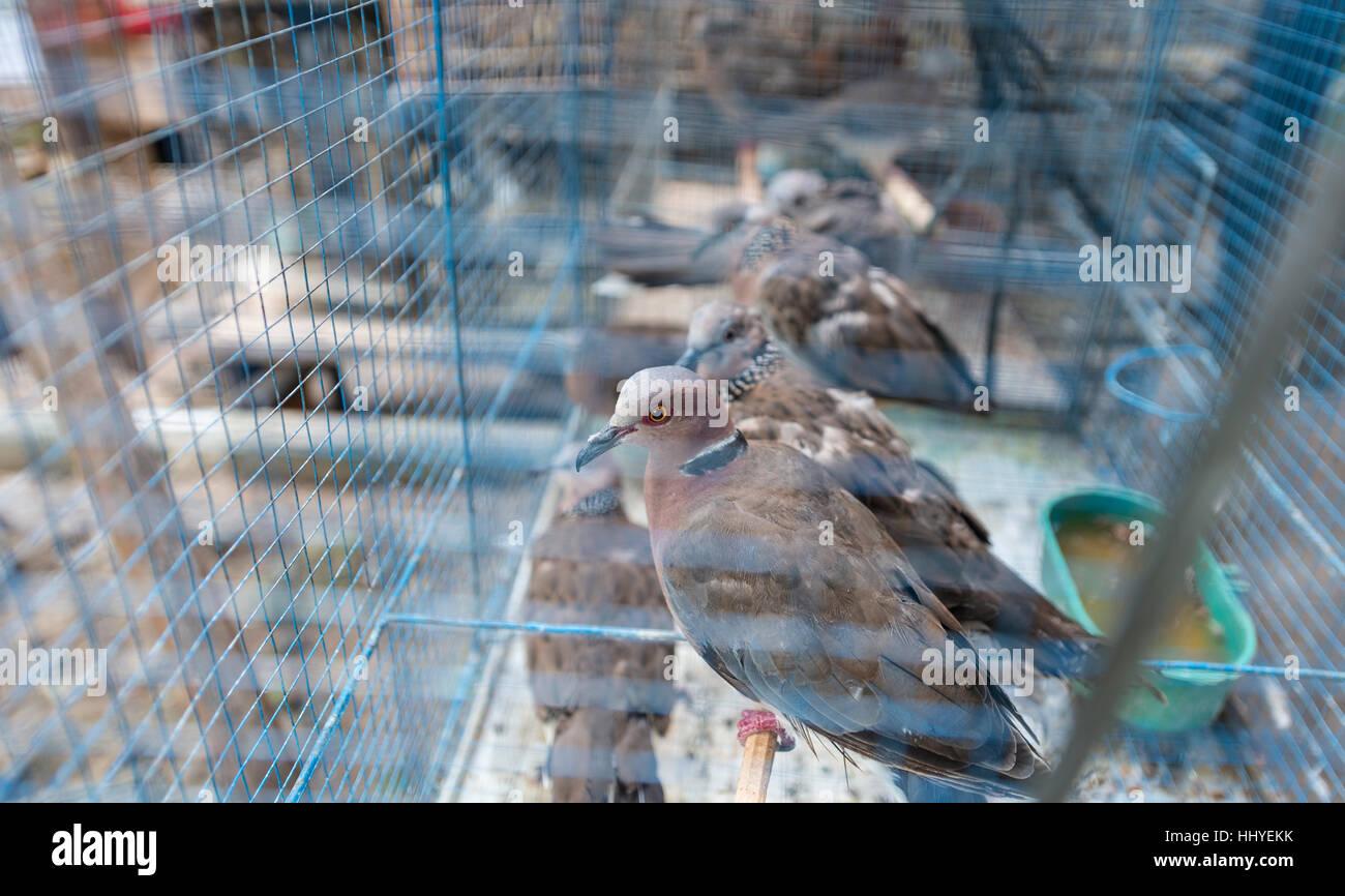 Cage with pigeons, bird market, Yogyakarta, Java, Indonesia - Stock Image