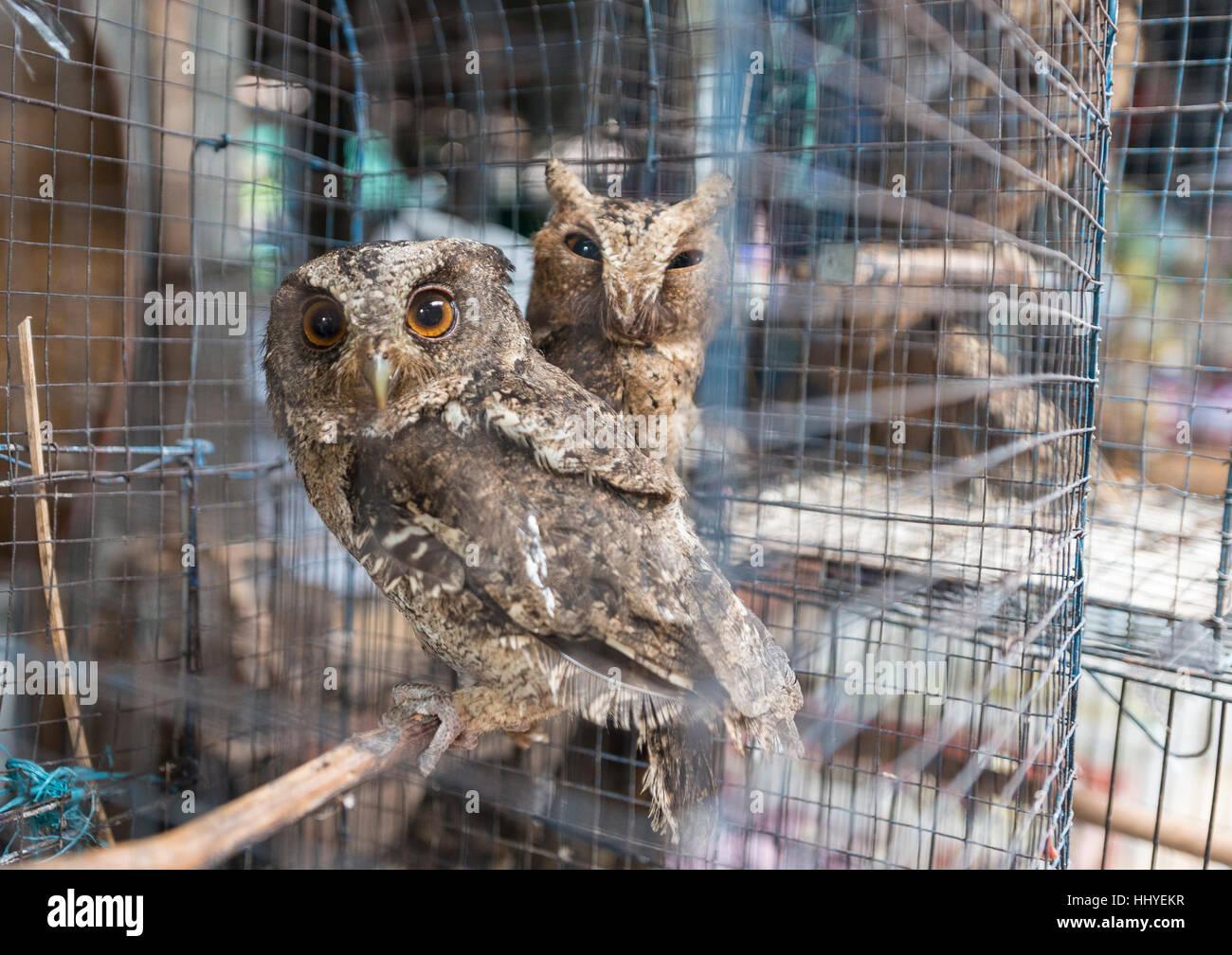Cage with two owls, bird market, Yogyakarta, Java, Indonesia - Stock Image