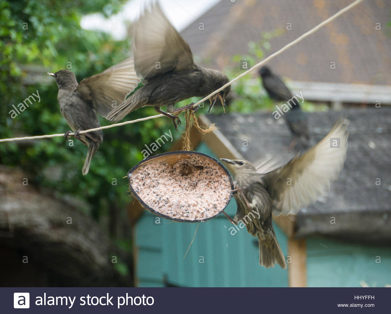 Starlings feeding on fat coconut on Washing line Pure Mahem - Stock Image