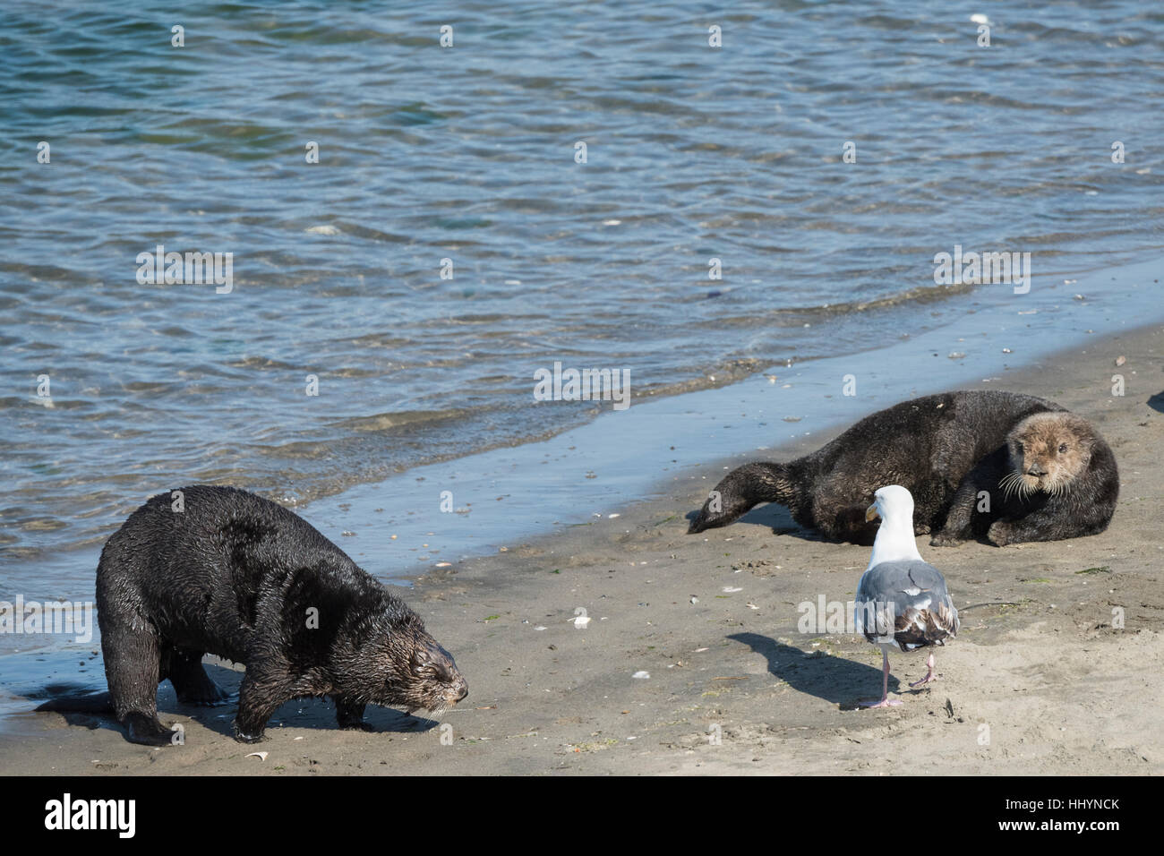 California sea otter or southern sea otter, Enhydra lutris nereis, comes ashore to bask on the beach with other - Stock Image