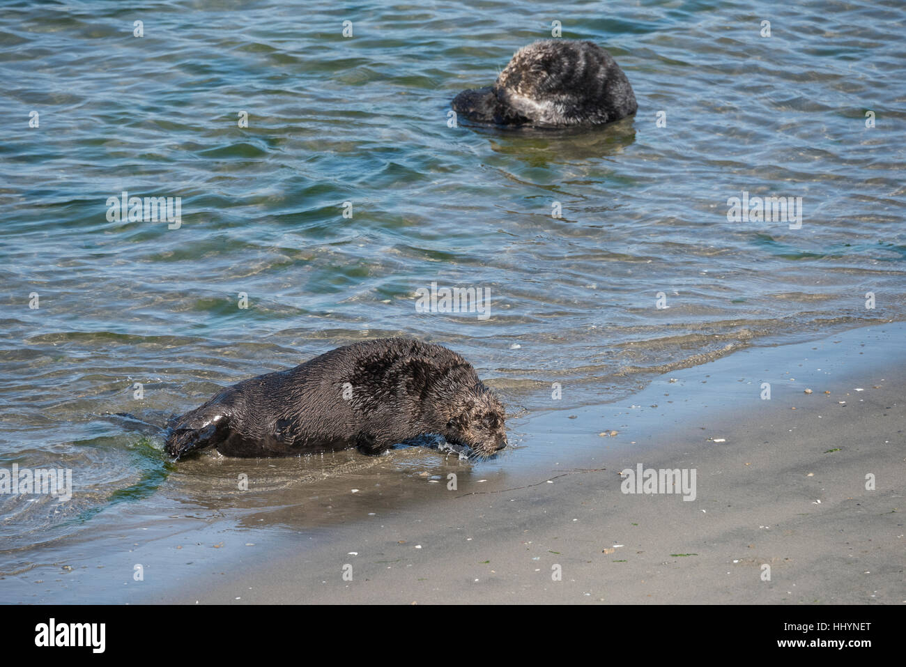 California sea otter or southern sea otter, Enhydra lutris nereis, comes ashore to bask on the beach, Elkhorn Slough, - Stock Image