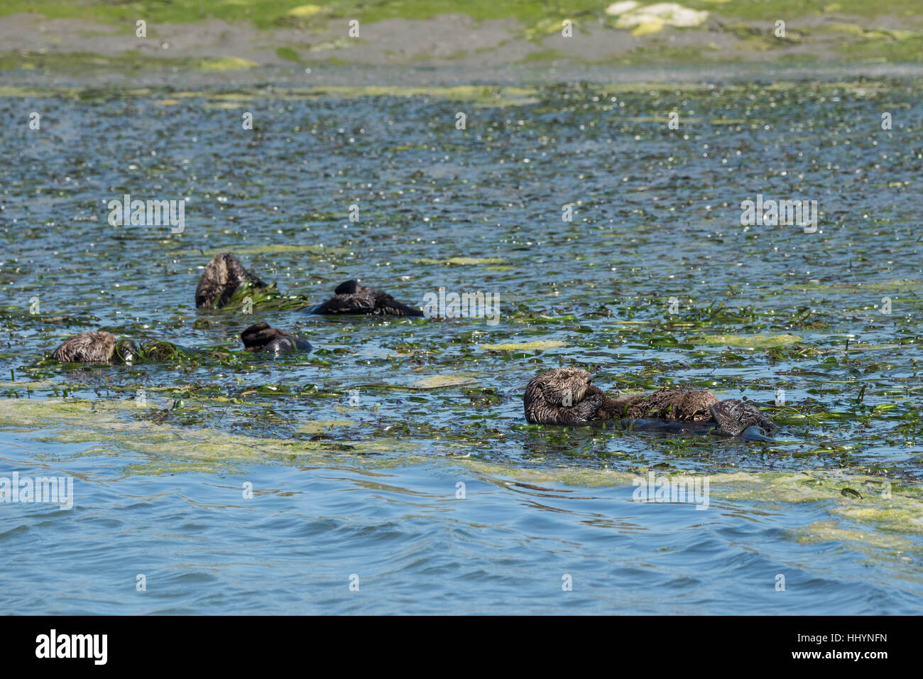 California sea otters or southern sea otters, Enhydra lutris nereis, resting in a raft while wrapped in eelgrass, Elkhorn Slough, California, USA Stock Photo