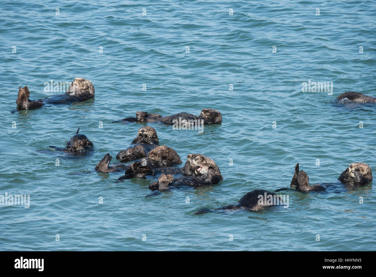 California sea otters or southern sea otters, Enhydra lutris nereis ( threatened ), resting in a raft, Elkhorn Slough, Moss Landing, California, USA Stock Photo