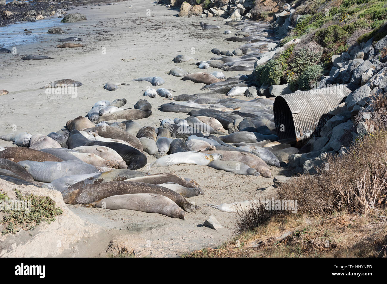 northern elephant seals, Mirounga angustirostris, bask on the beach during their molt, in front of a large storm - Stock Image