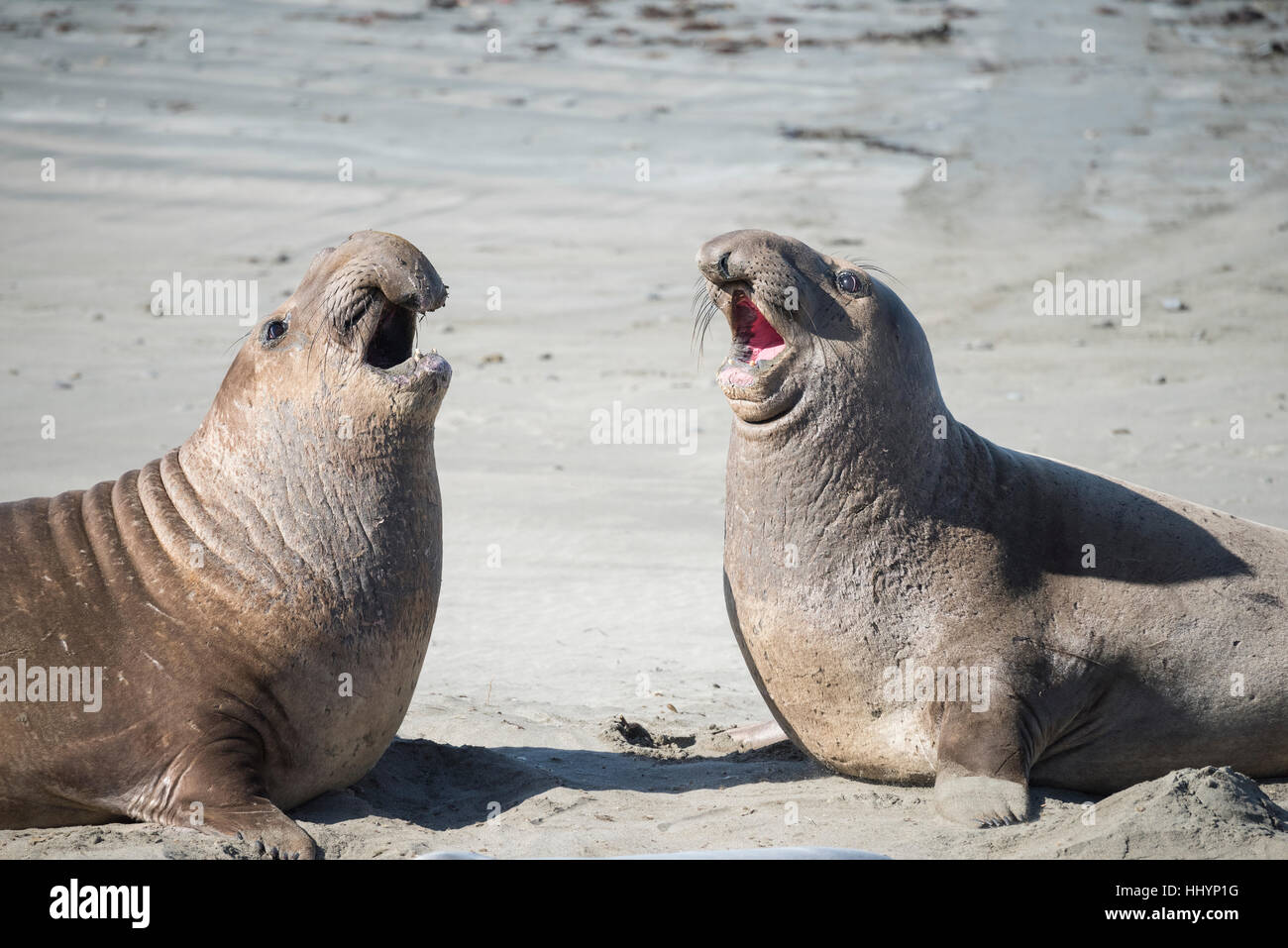 northern elephant seals, Mirounga angustirostris, young males sparring for dominance, practicing for later battles, - Stock Image