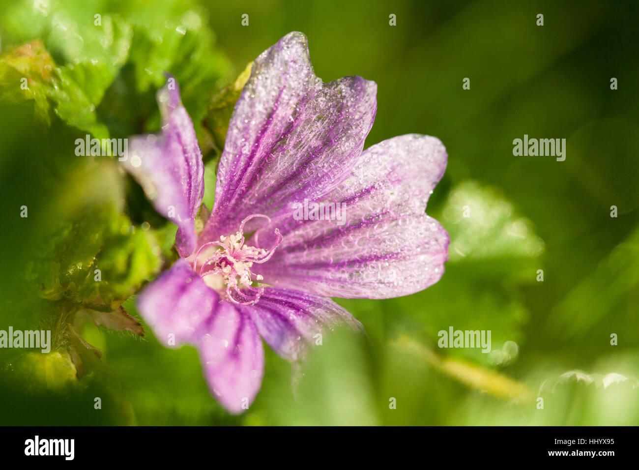 wild, purple, mallow, medicinal plant, plant, nature, macro, close-up, macro Stock Photo