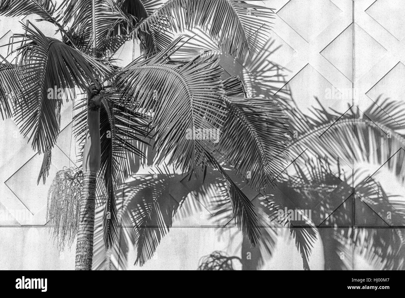 Palm tree and shadow cast against a concrete wall, urban geometry. - Stock Image