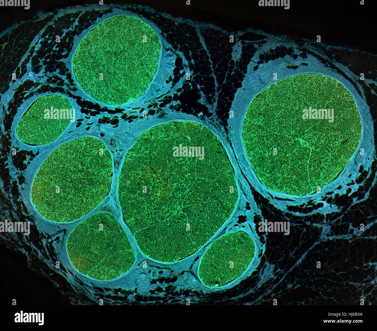 Nerve fibres. Light micrograph (LM) of a transverse section through a bundle (fascicle) of nerve fibres. Within Stock Photo