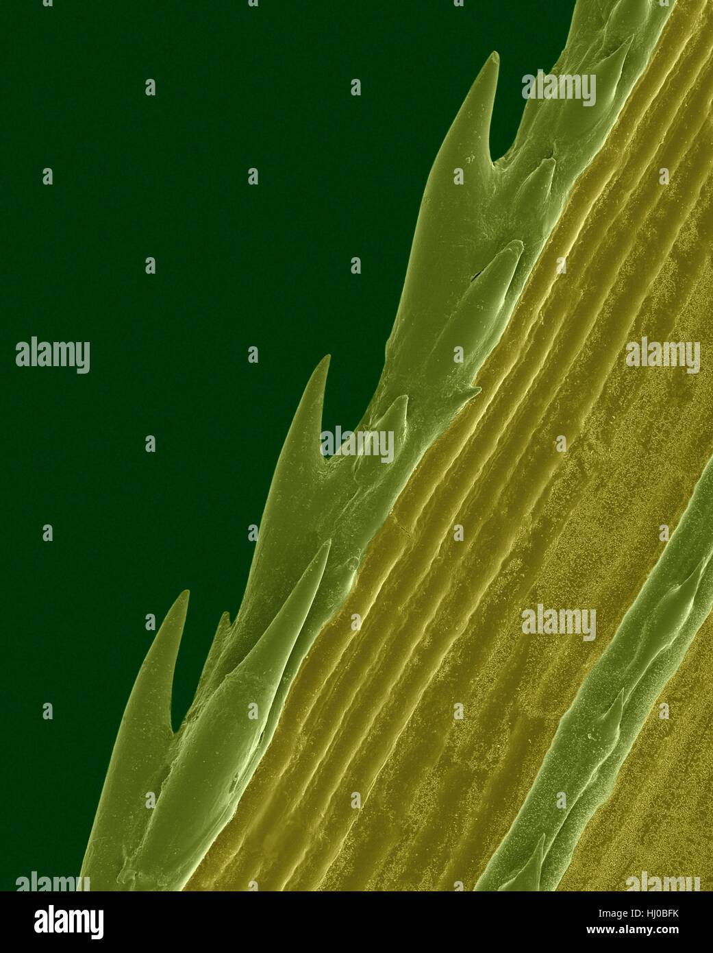 A blade of grass with serrated edge (Paspalum sp),coloured scanning electron micrograph (SEM).Plants evolve specialized - Stock Image