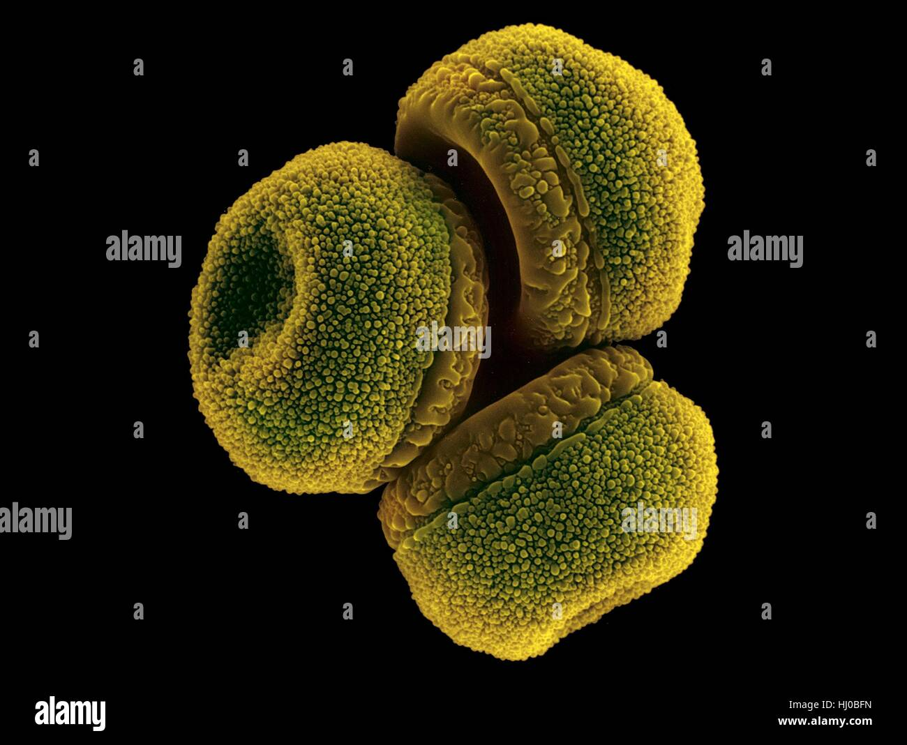 Waterlily pollen (Nymphaea mexicana),coloured scanning electron micrograph (SEM).Nymphaea mexicana is species of Stock Photo