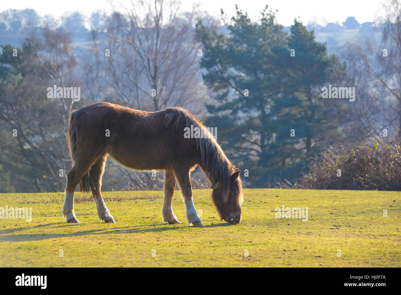 Godshill Wood, New Forest, Hampshire, UK. 21st Jan, 2017. In the winter especially, the National Park ponies keep - Stock Image