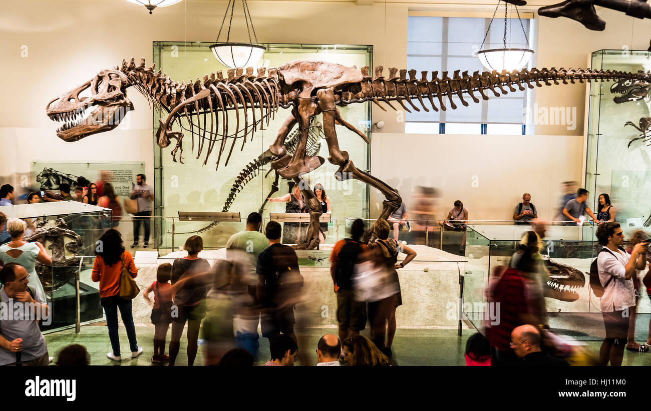 T-rex at the American Museum of Natural History - Stock Image