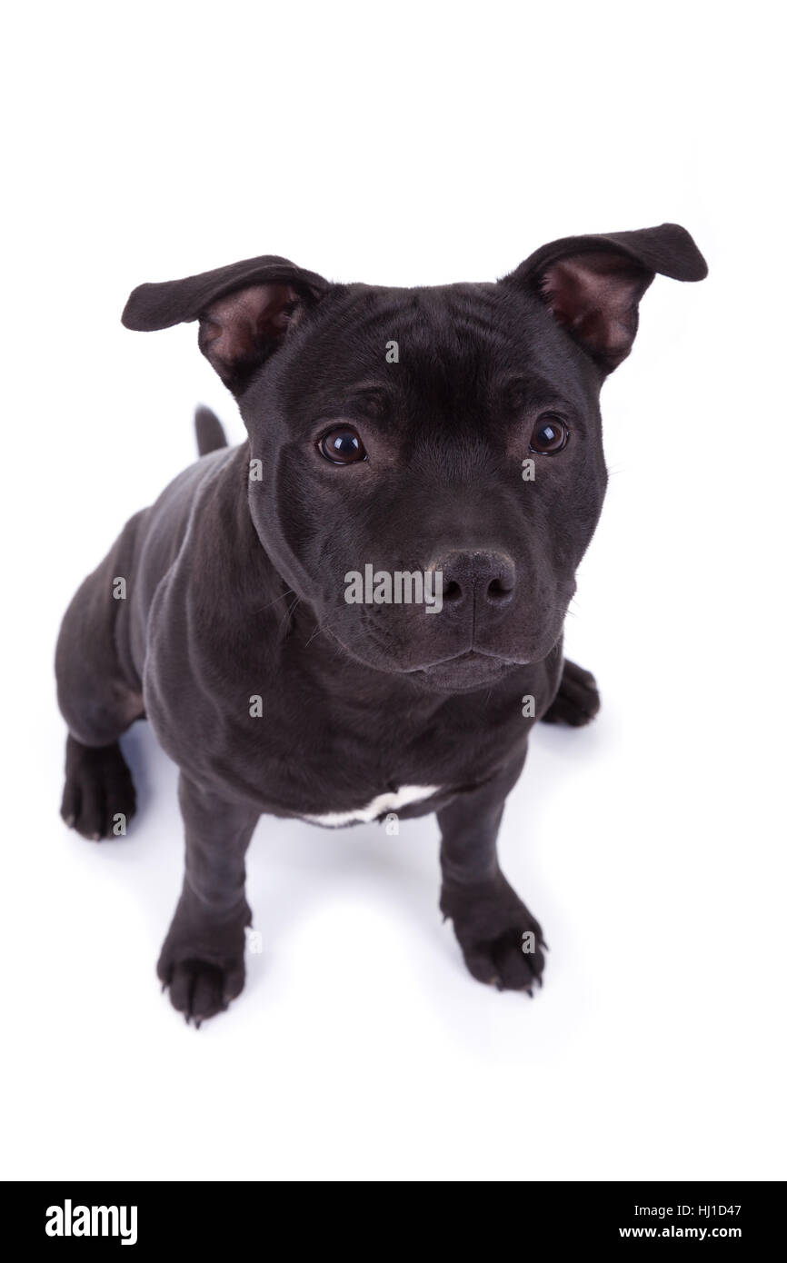 Black Pit Bull Cut Out Stock Images Pictures Alamy