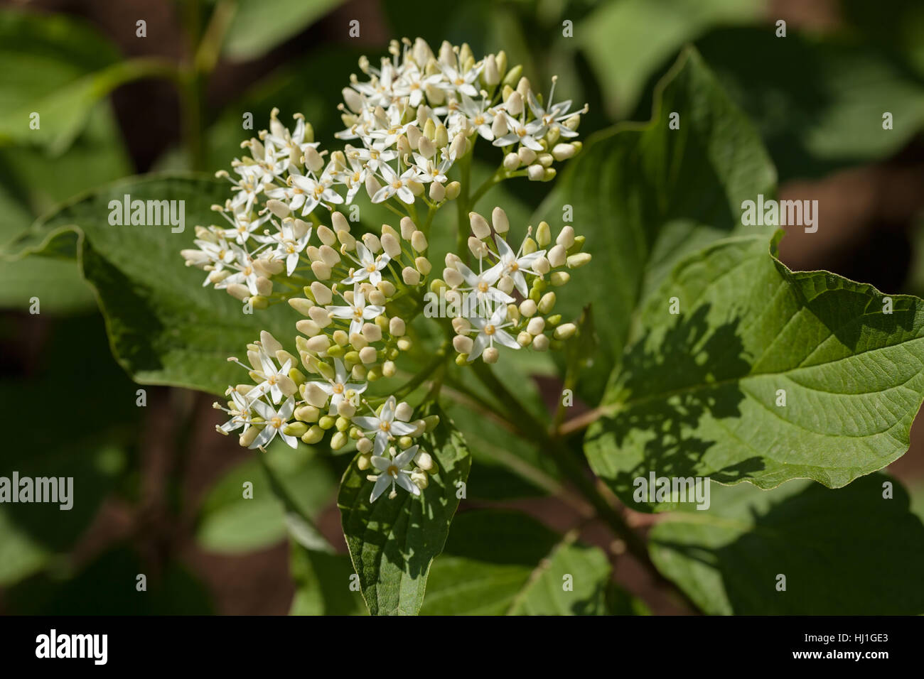 Small Flower Big Leaves Stock Photos Small Flower Big Leaves Stock