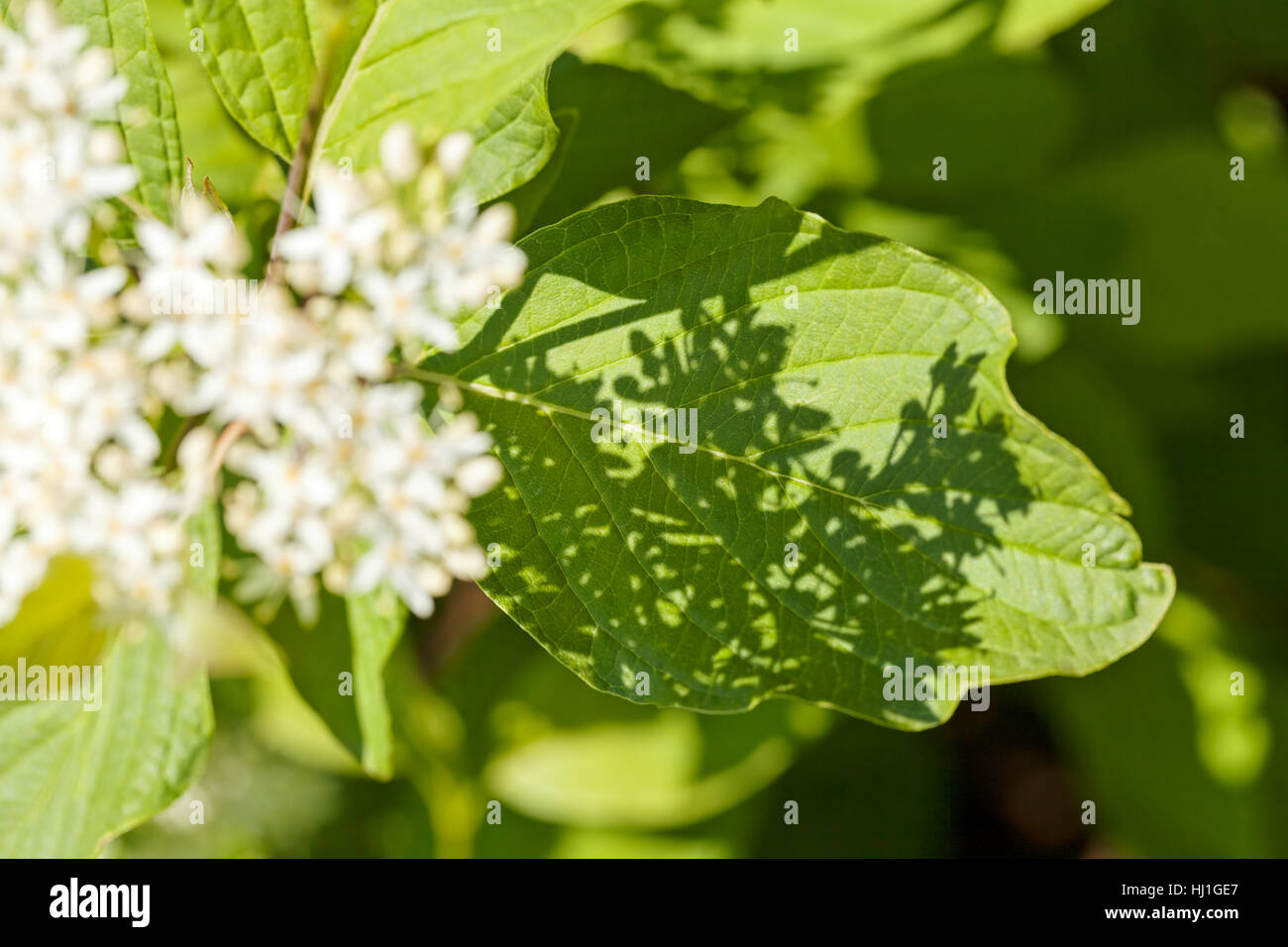Plant Small White Flowers Big Stock Photos Plant Small White