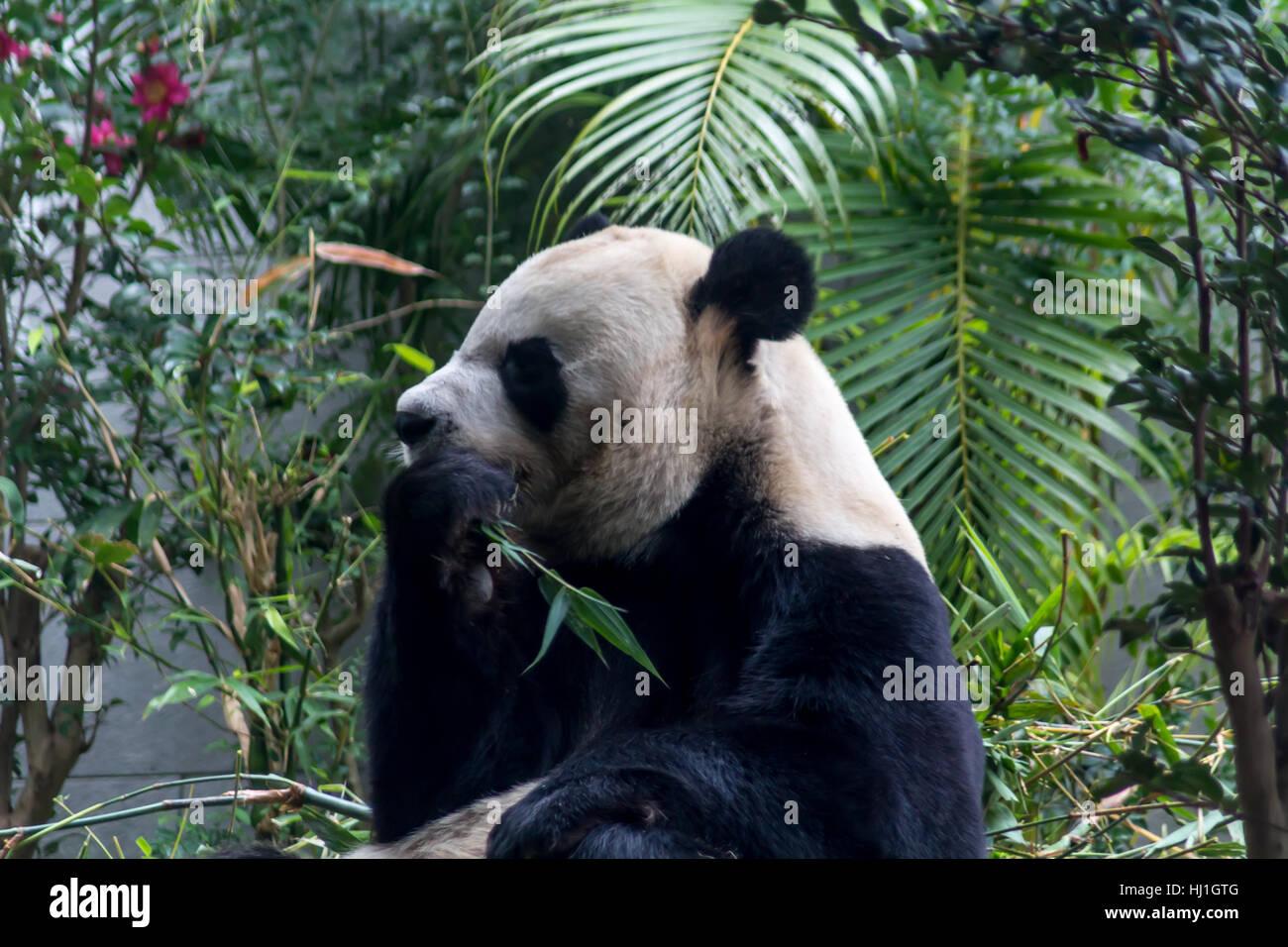 Cute Giant Panda eating bamboo from China - Stock Image