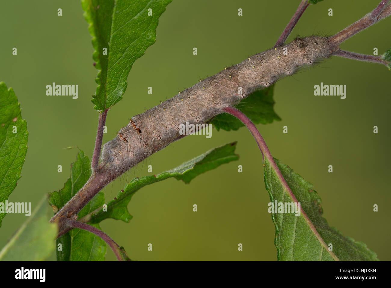 Streblote panda, Raupe, Megasoma repanda, Blueberry Lappet, blueberry lappet moth, caterpillar, Mégasome recourbé, - Stock Image