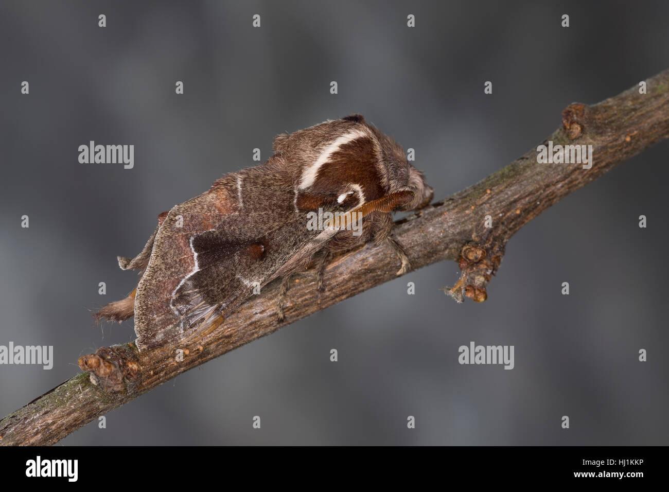 Streblote panda, Männchen, Megasoma repanda, Blueberry Lappet, blueberry lappet moth, male, Mégasome recourbé, - Stock Image