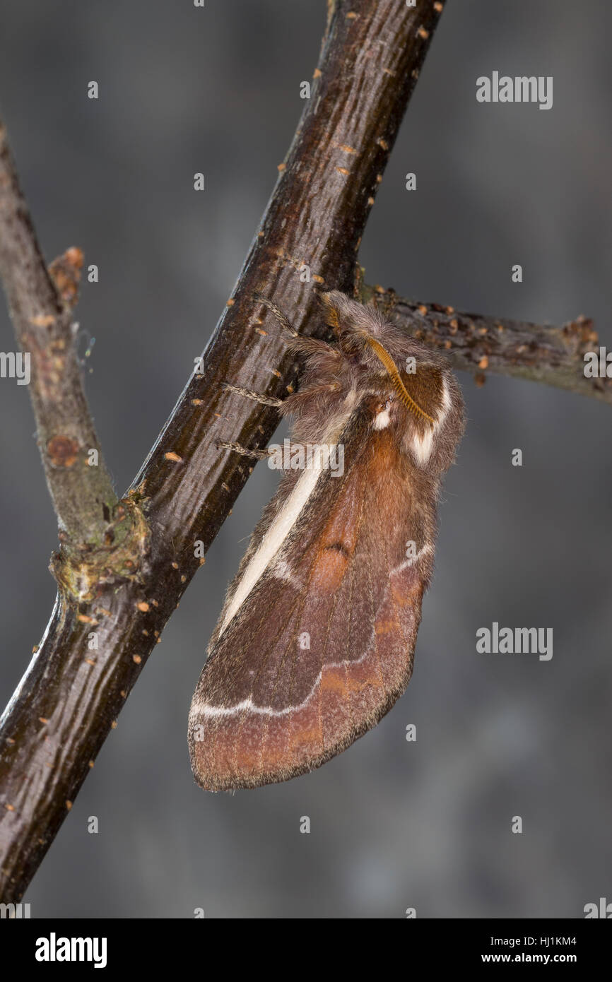 Streblote panda, Weibchen, Megasoma repanda, Blueberry Lappet, blueberry lappet moth, female, Mégasome recourbé, - Stock Image