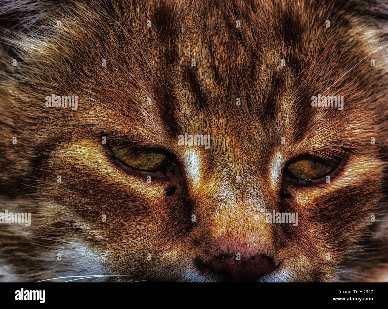 Brown Cat Portrait - Stock Image