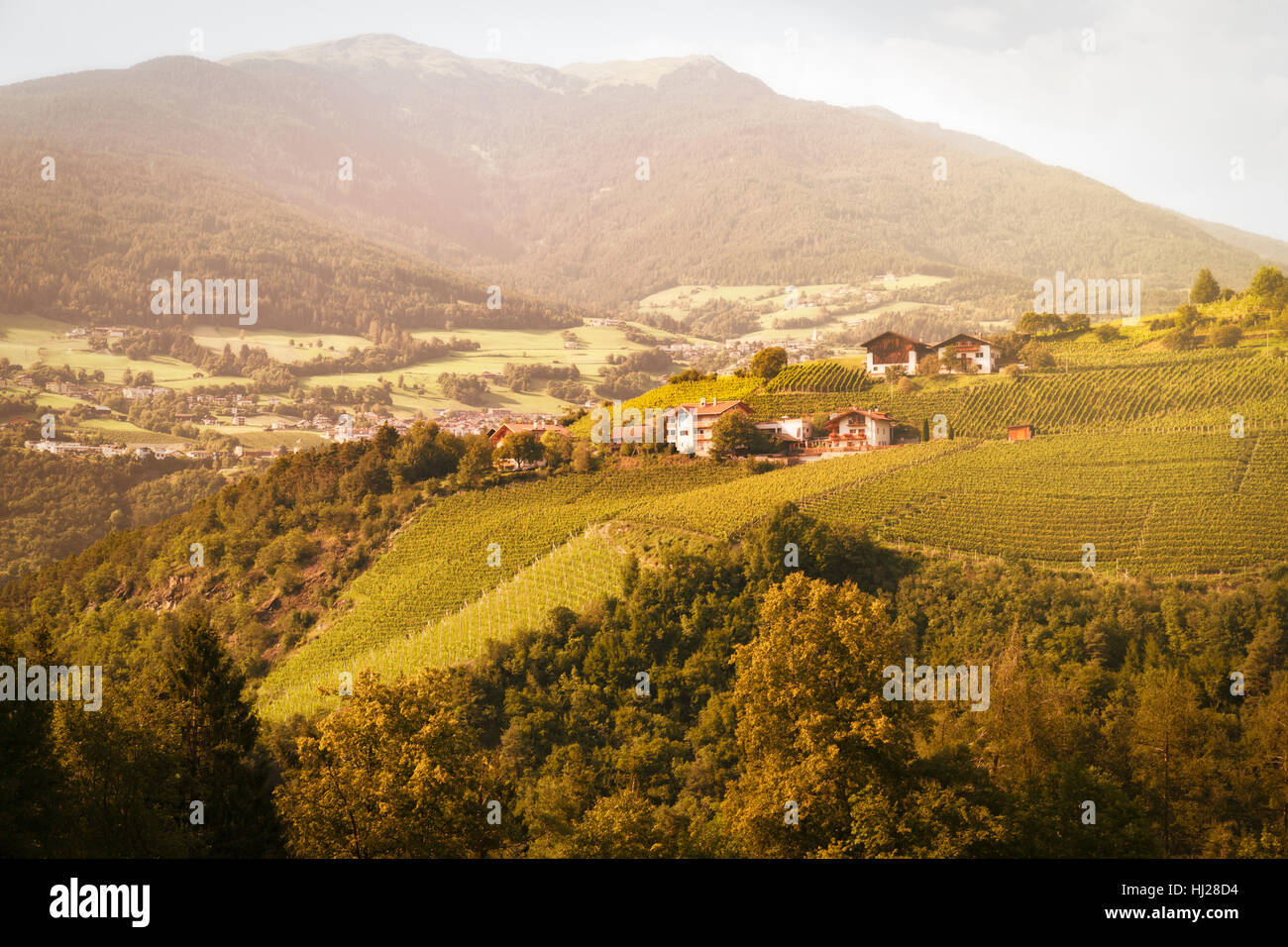 Vineyard in South Tyrol, Italy Stock Photo