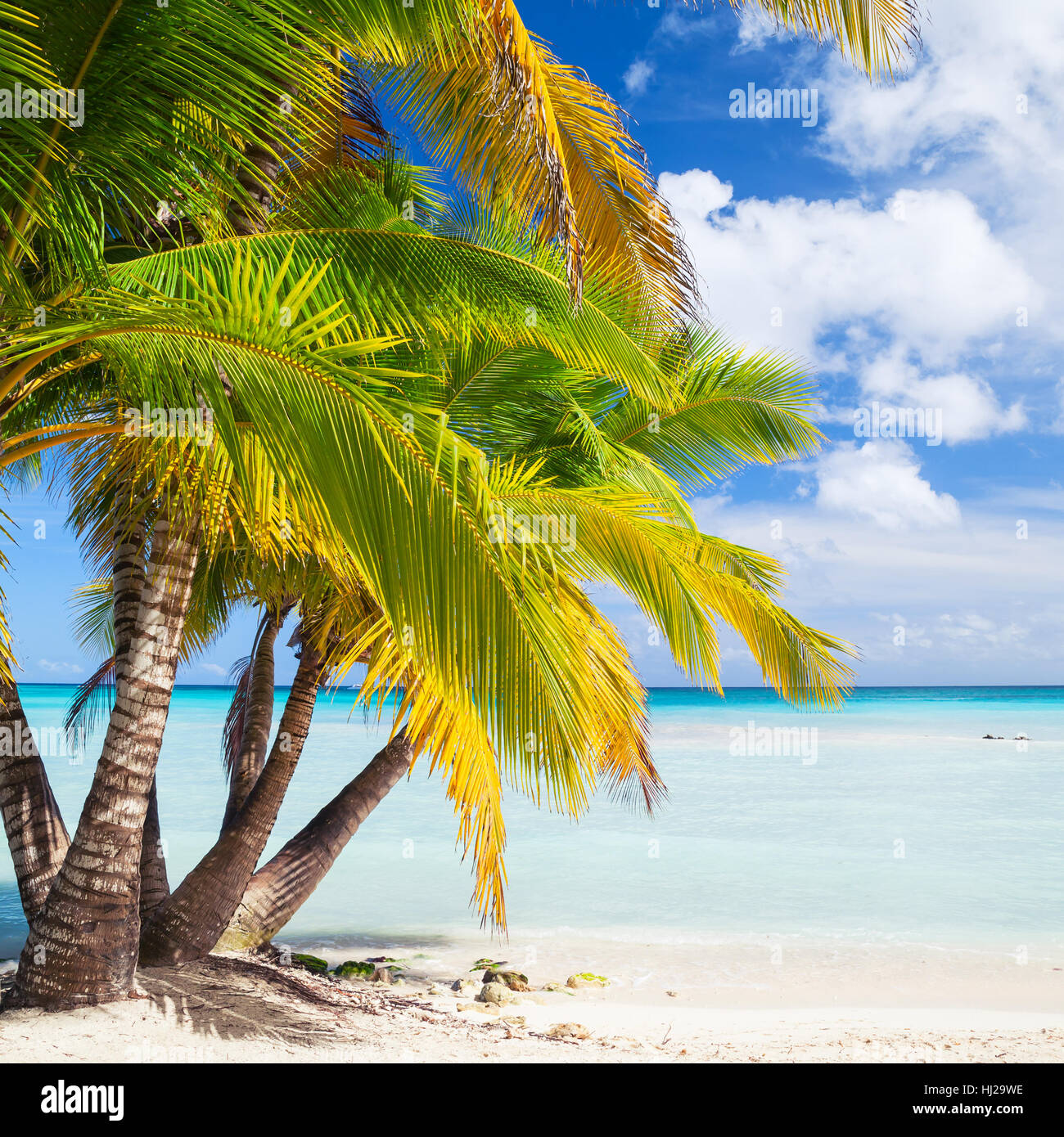 Coconut palms grow on white sandy beach. Caribbean Sea coast, Dominican republic, Saona island. Natural square background - Stock Image