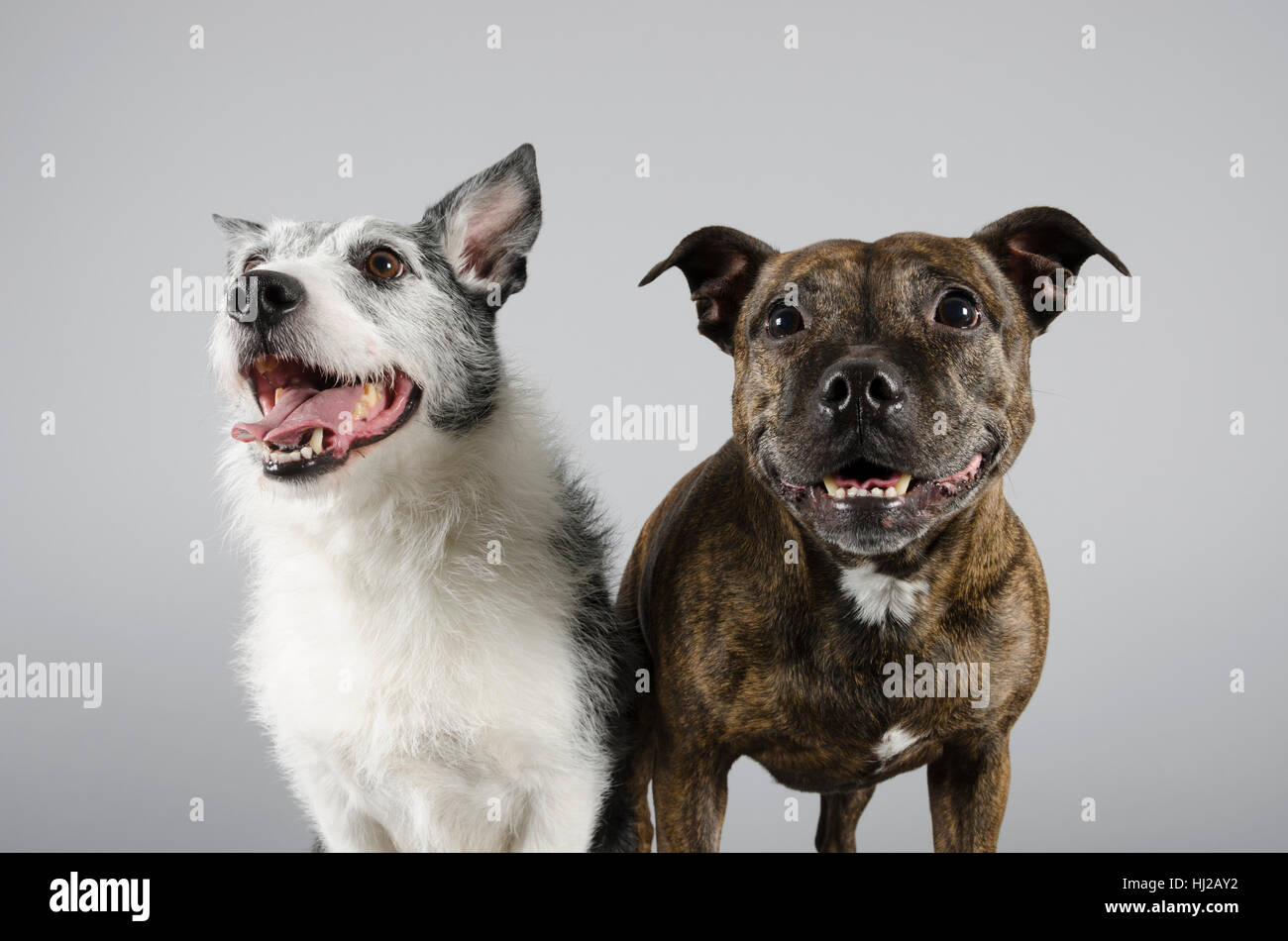 Doggy Pals - staffie and jack russell cross - Stock Image