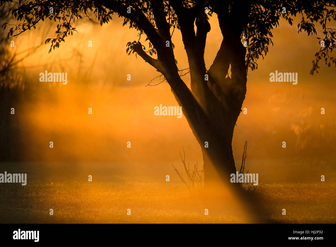 A tree stands in an open field as the sun makes the morning fog glow a bright orange around the tree. - Stock Image