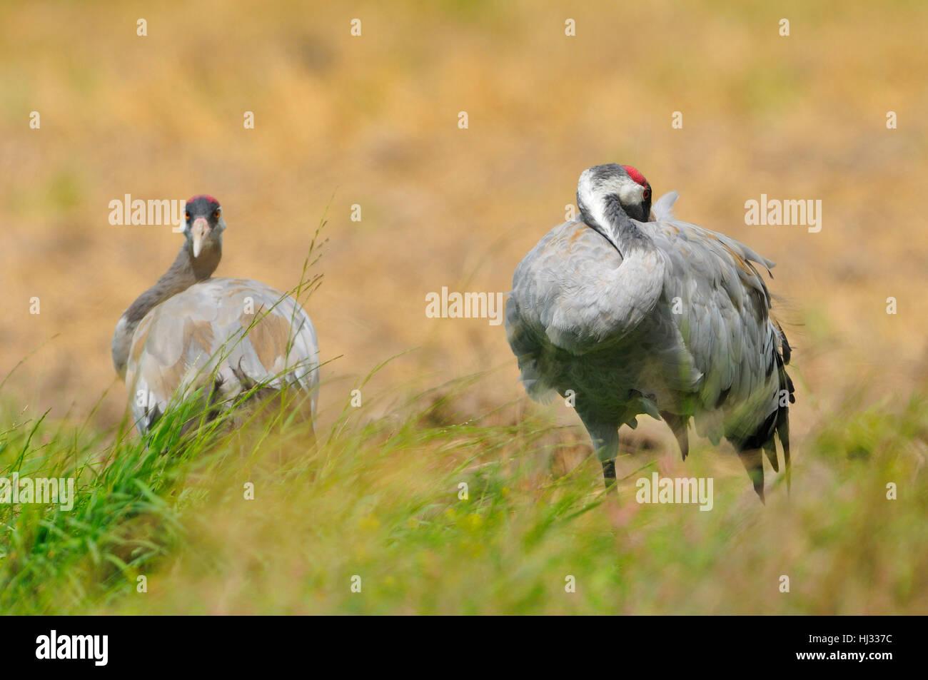 bird, birds, crane, couple, pair, break, rest, pause, bird, field, birds, Stock Photo