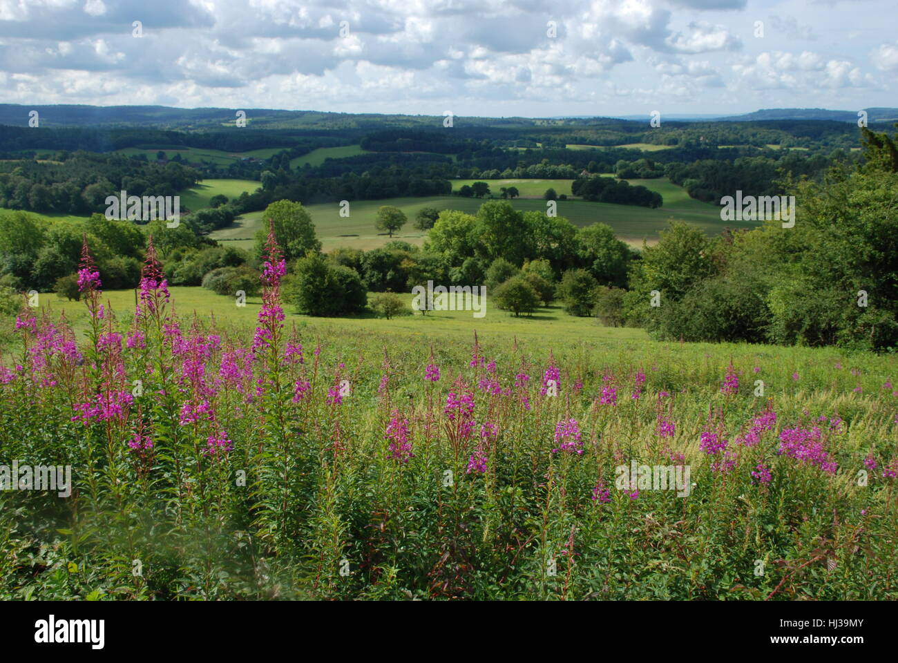 Landscape view of the Surrey Hills Area of Outstanding Natural Beauty in midsummer with colourful rosebay willowherb - Stock Image