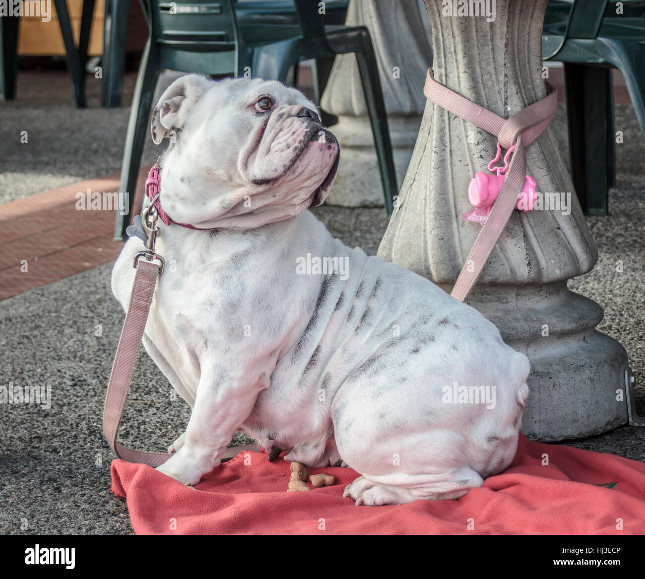 A wrinkled, white bulldog with a pink collar, leash and blanket gazes lovingly at her owner from under an outdoor - Stock Image
