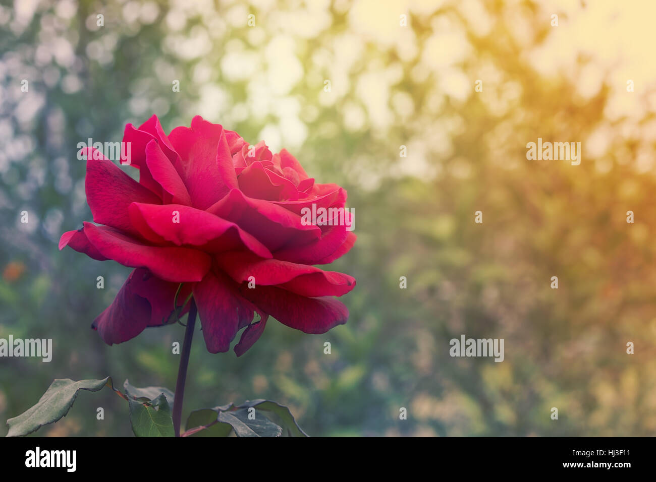 Condolence card stock photos condolence card stock images alamy red rose flower on condolences background for sympathy greeting card for death funeral or tragedy m4hsunfo