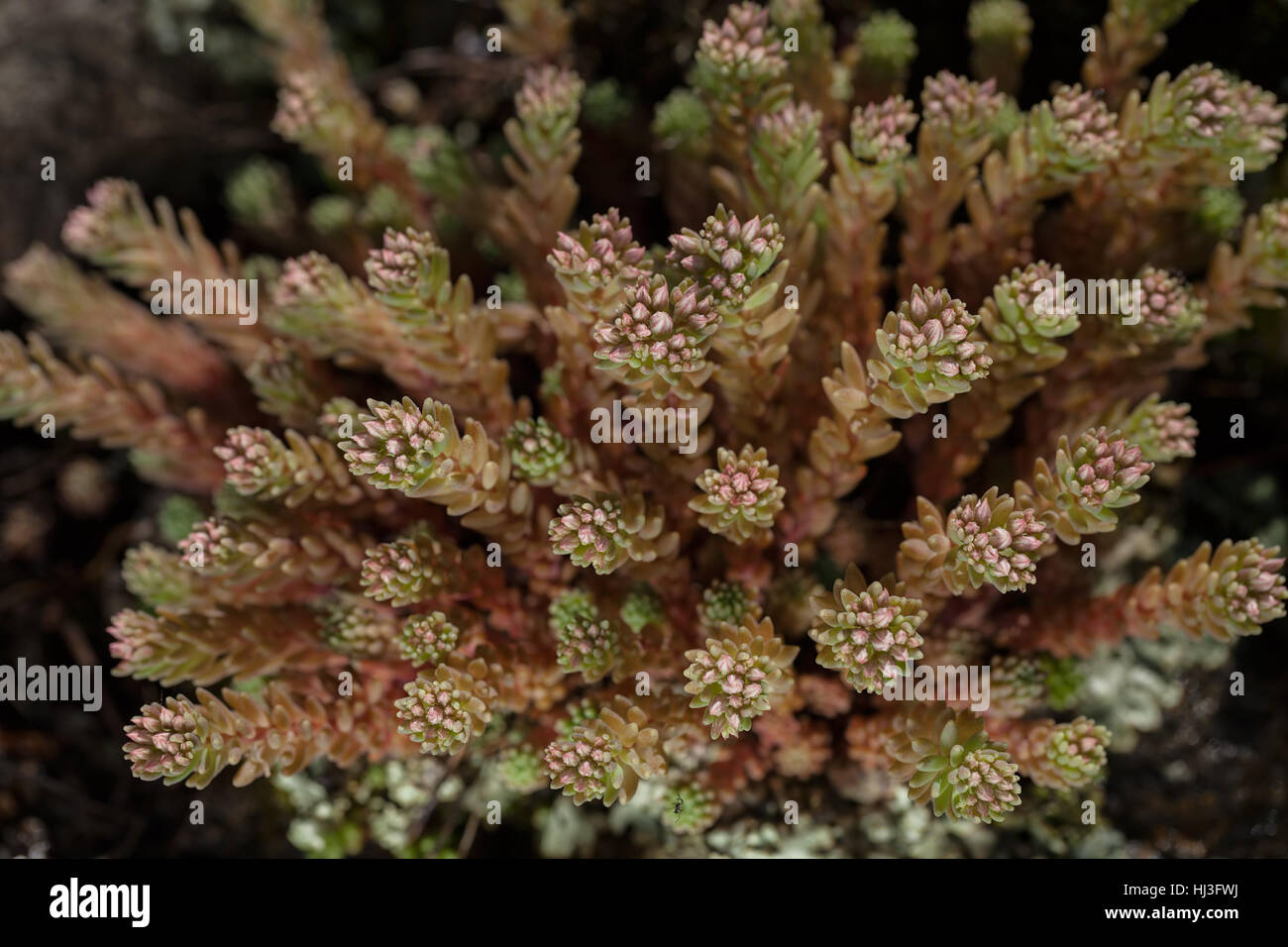a variety of stonecrop on the stone in nature, note shallow depth of field Stock Photo