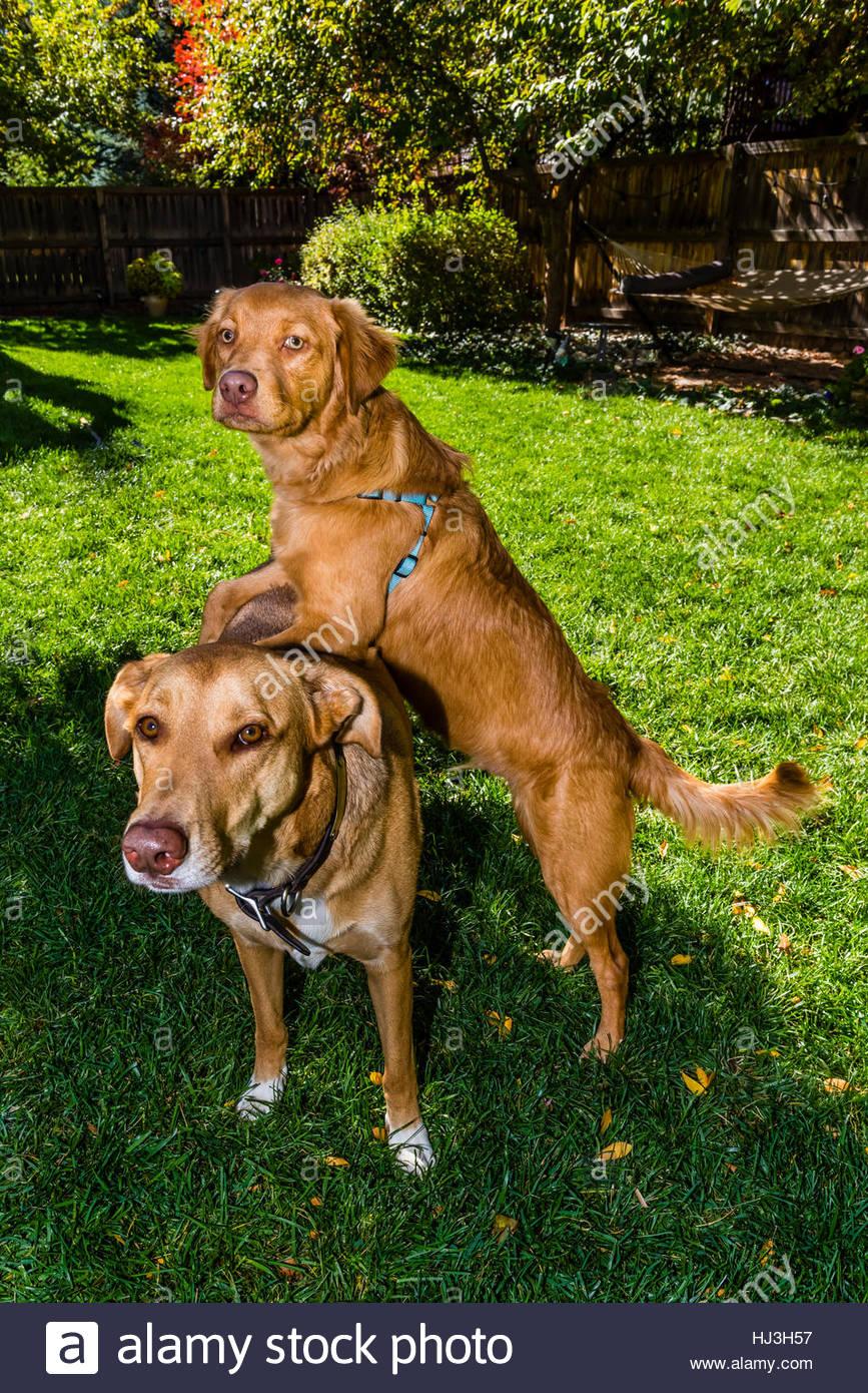 Dog And Puppy An Australian Shepherdgolden Retriever Mix Puppy