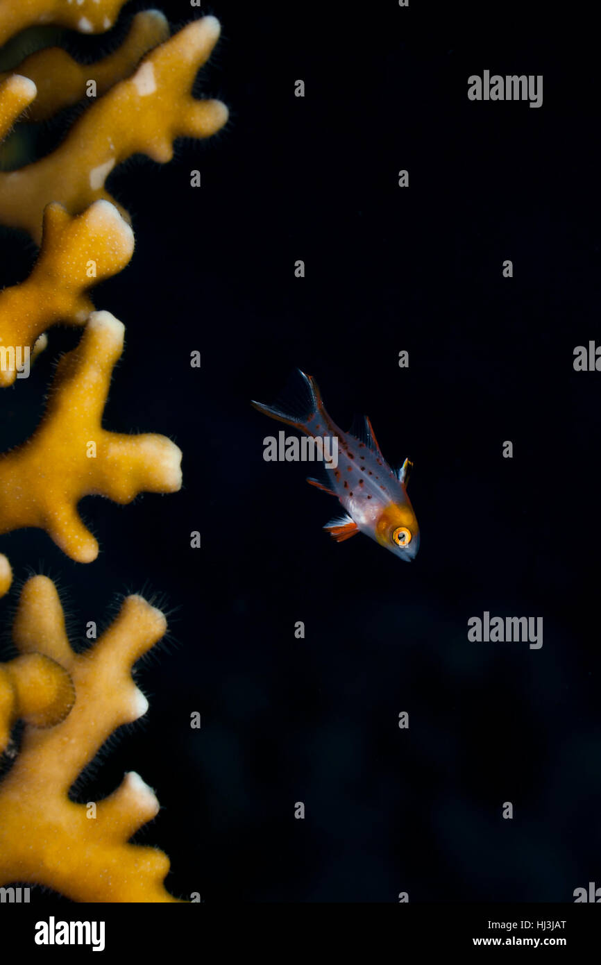 Underwater photo of the transparent juvenile Lyretail hogfish (Bodianus anthioides) next to the fire coral Millepora - Stock Image