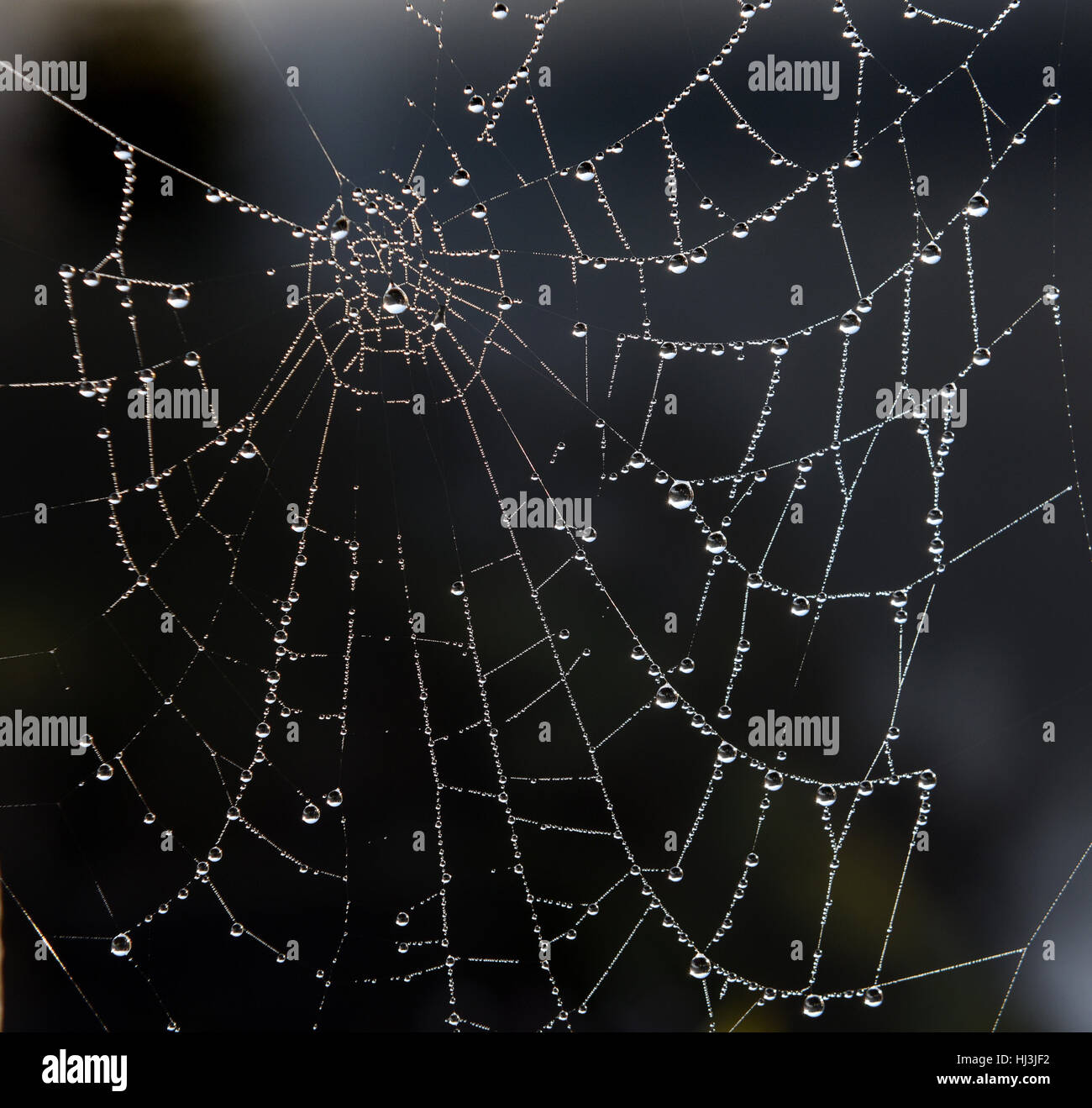 Droplets of water on spiders web - Stock Image