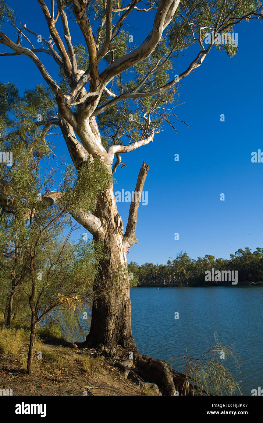 River Red Gum (Eucalyptus camaldulensis) growing beside the River Murray, on the NSW Victorian border. - Stock Image