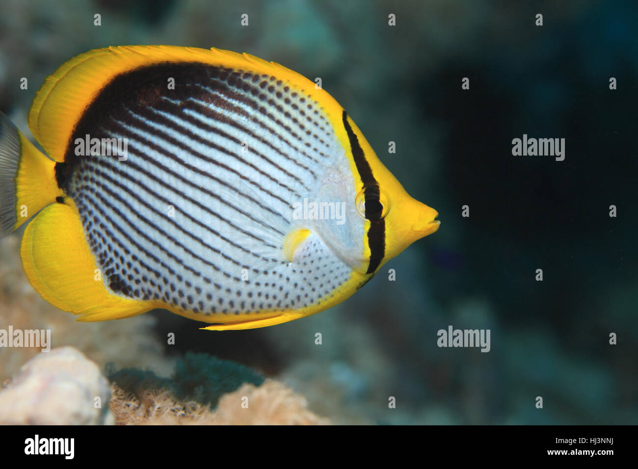 Blackbacked butterflyfish (Chaetodon melannotus) underwater in the coral reef of the Red sea Stock Photo
