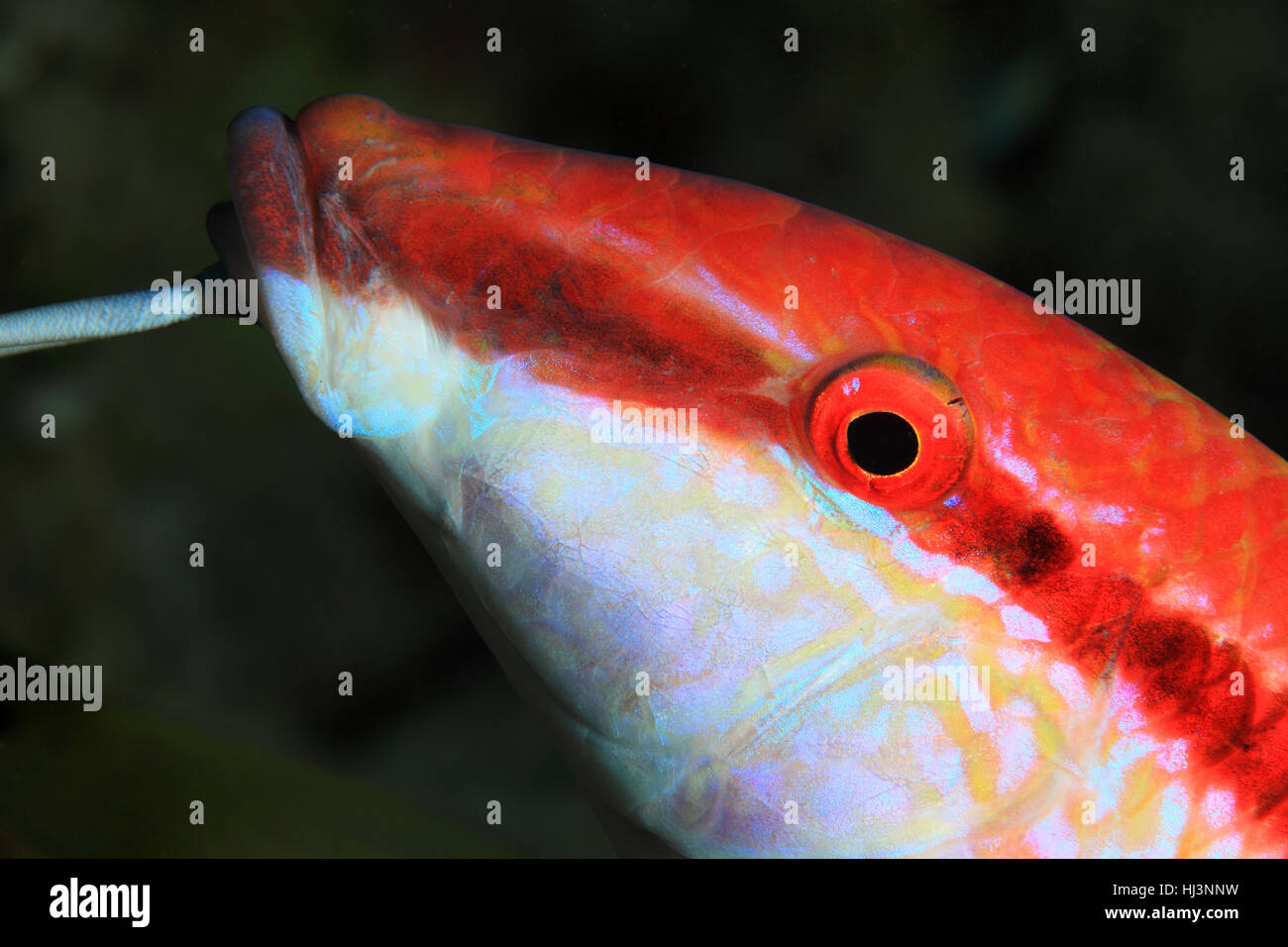 Redstriped goatfish (Parupeneus rubescens) underwater in the coral reef of the red sea - Stock Image