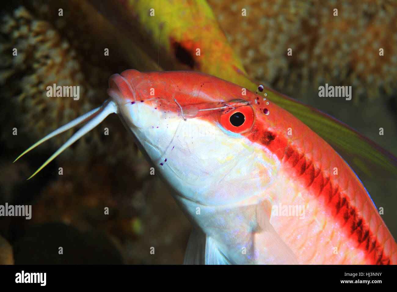Redstriped goatfish (Parupeneus rubescens) with cleaner shrimp underwater in the coral reef - Stock Image