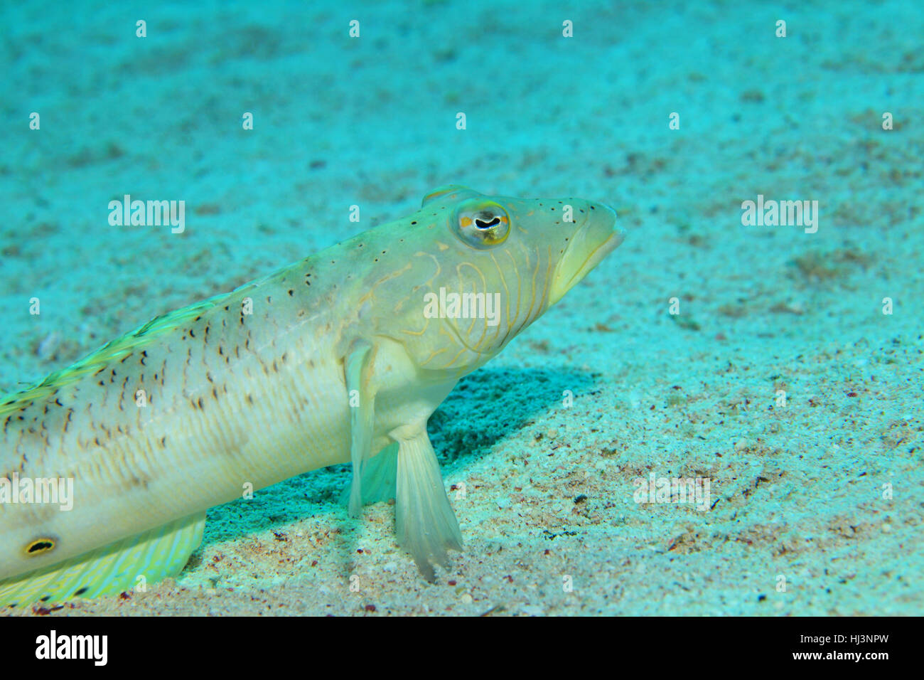 Speckled sandperch fish (Parapercis hexophthalma) underwater on the sandy bottom of the red sea - Stock Image