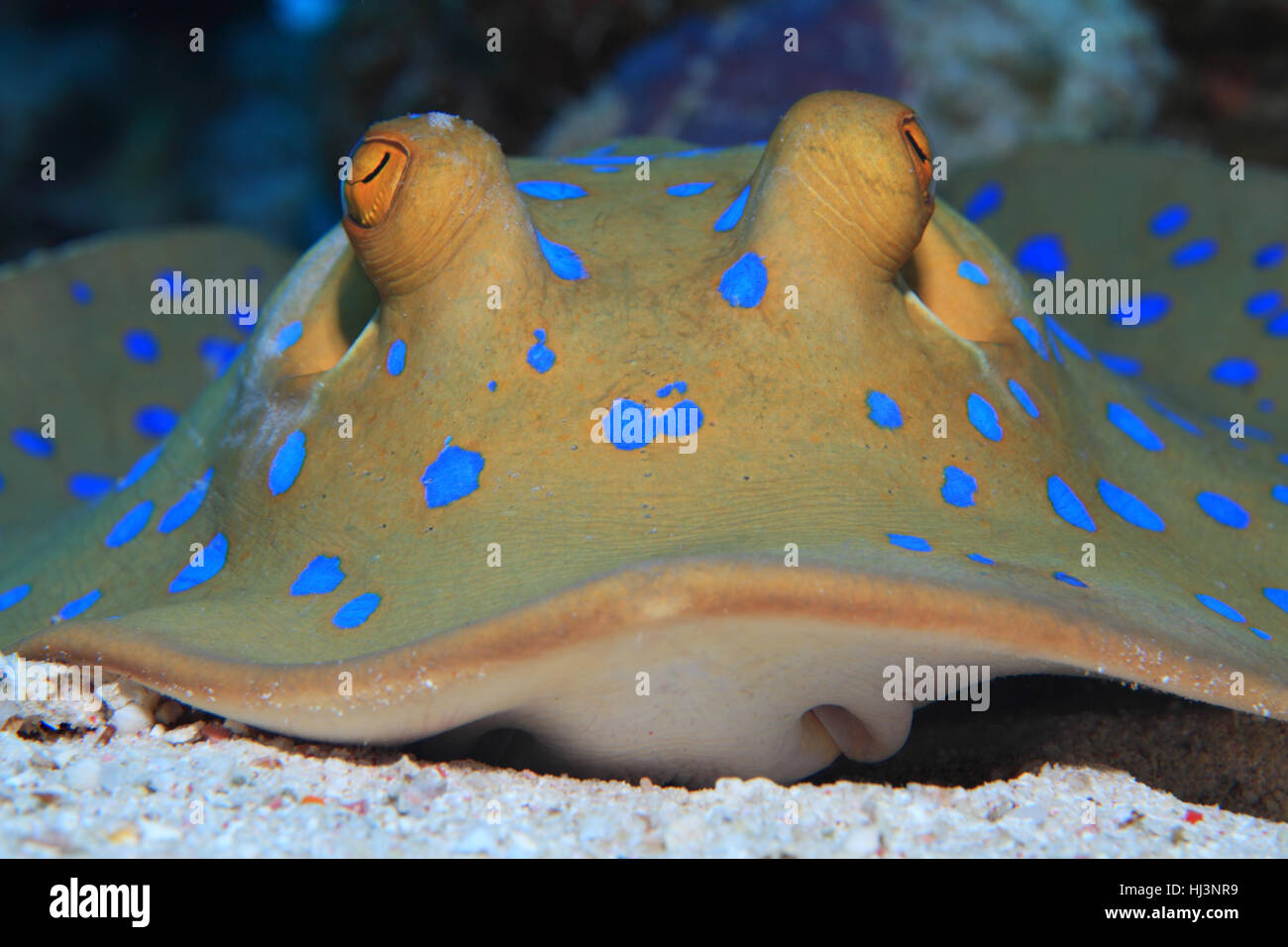 Bluespotted stingray (Taeniura lymma) on the sandy bottom of the Red sea - Stock Image